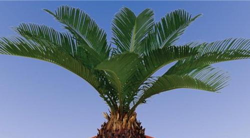 Саговая пальма в домашних условиях