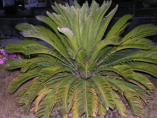 Саговая пальма на газоне в Турецком отеле