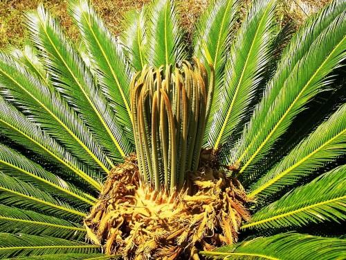 Саговая пальма с молодыми побегами