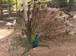 Павлин в парке Кемера