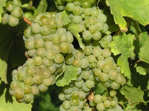 Виноград сорта Рислинг