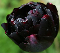 Тюльпан черный
