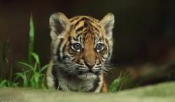 Суматранские тигры: любопытный тигренок
