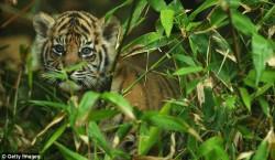 Суматранские тигры: малыш спрятался от фотографов
