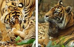 Суматранские тигры: мама играет с малышом