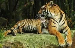 Суматранские тигры: мама с малышом
