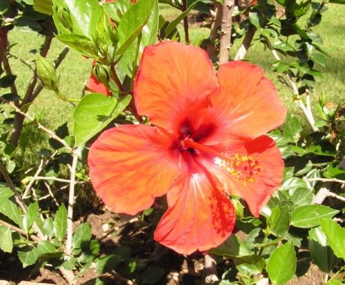 Роза китайская (Гибискус)