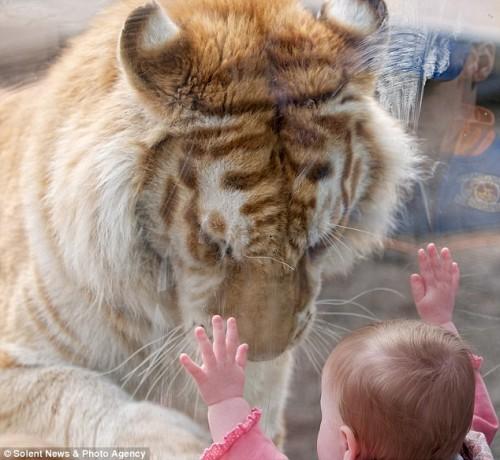 Золотой Бенгальский Тигр по кличке Тадж сначала подошел к стеклу