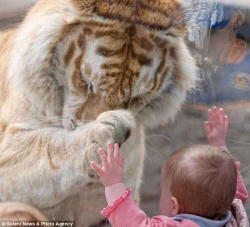 Затем тигр Тадж положил лапу на ладошку девочки
