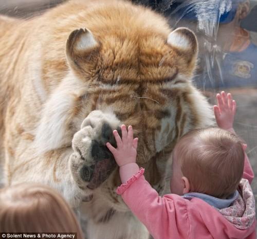 После тигр опустил голову и потерся мордой о стекло на уровне глаз малышки