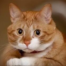 В своих слабостях кошки подобны женщинам.