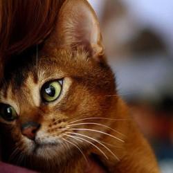 Кошка отмурлыкается в любой ситуации.