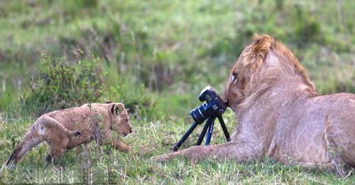 Львенок позирует