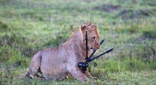 Лев готовится к фотосессии