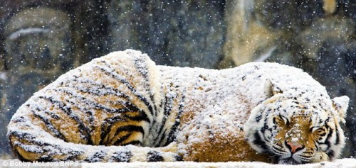 Амурский тигр спит под снегопадом