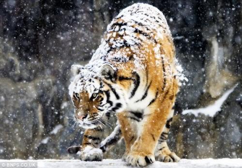 У амурского тигра сразу две шубки: меховая и снежная