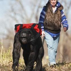 Канзи выходит на прогулку