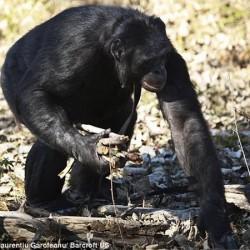 Канзи собирает дрова для костра