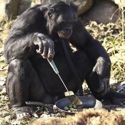Канзи готовит пищу