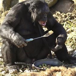 Канзи пробует еду со сковороды