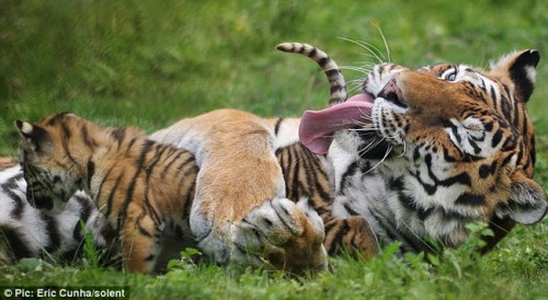 Амурский тигр с тигрятами в зоопарке