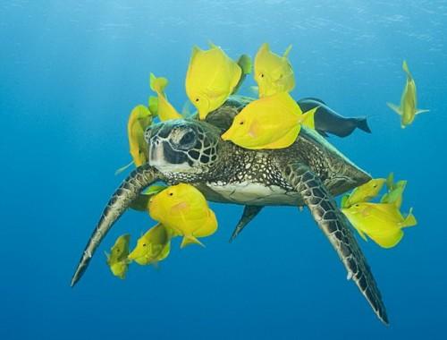 Морская черепаха и рыбки Зебрасомы