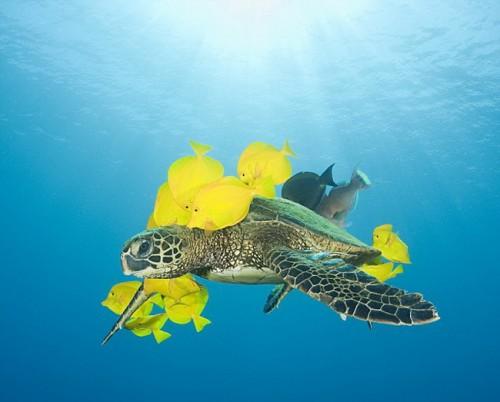 Морская черепаха и Зебрасомы.
