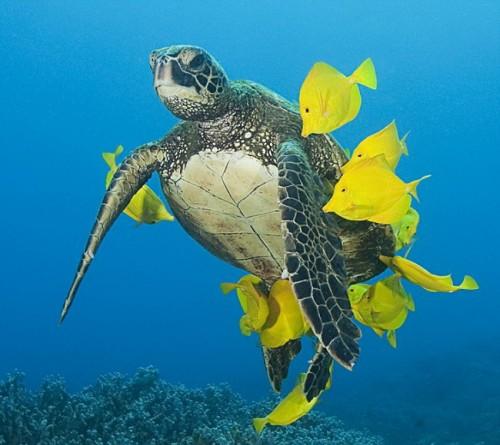 Морская черепаха в химчистке