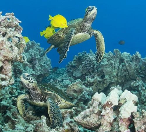 Морская черепаха и рыбки Зебрасомы.