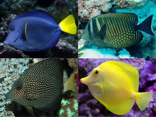 Zebrasoma - морская рыбка семейства хирурговых.