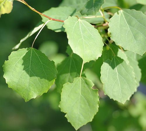 Осина листья