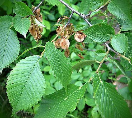Вяз листья