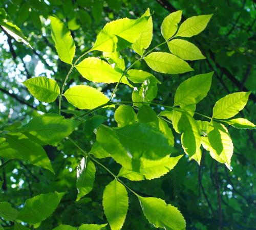 Ясеневые листья
