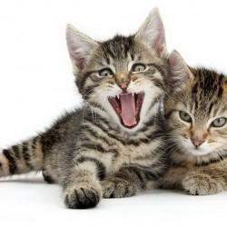 Котята требуют молока и мяса!