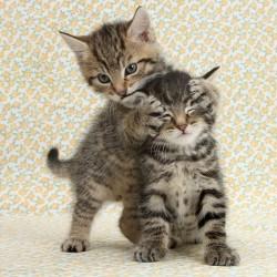 """Забавные котята """"Головомойка"""""""